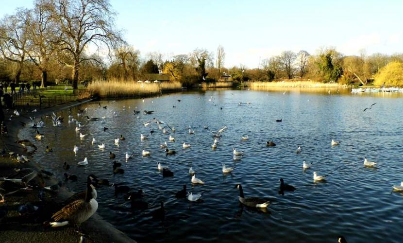 Regent's Park lake and birds